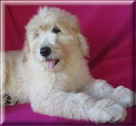 Availble F1 Goldendoodles