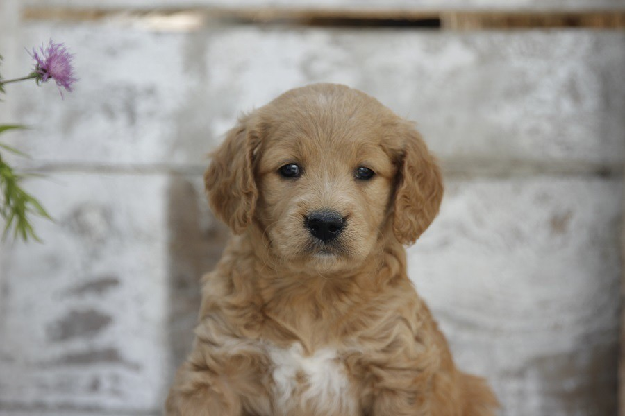 Available Goldendoodles And Golden Retrievers Albark Kennels