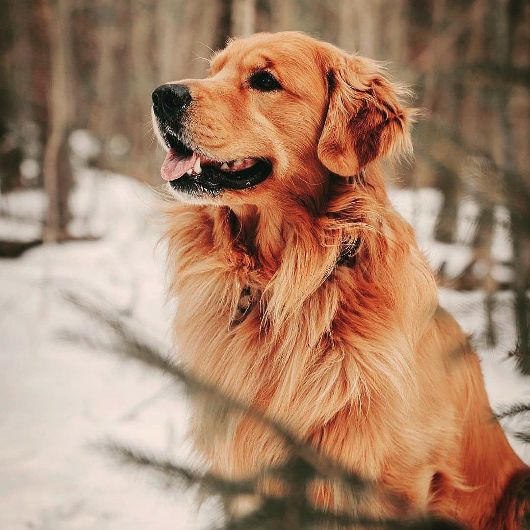 golden retriever in snowy woods